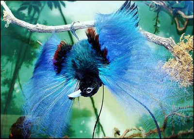 Blue-Bird-of-Paradise
